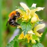 Зеленчук обыкновенный и пчела