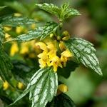 Зеленчук желтый пестролистный