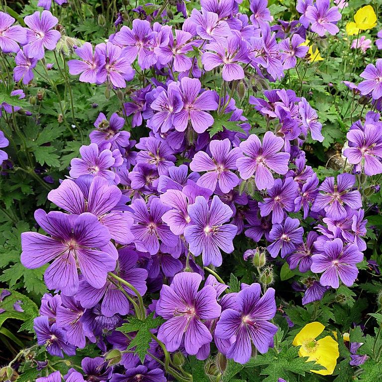 Цветы многолетники для кладбища неприхотливые долгоцветущие