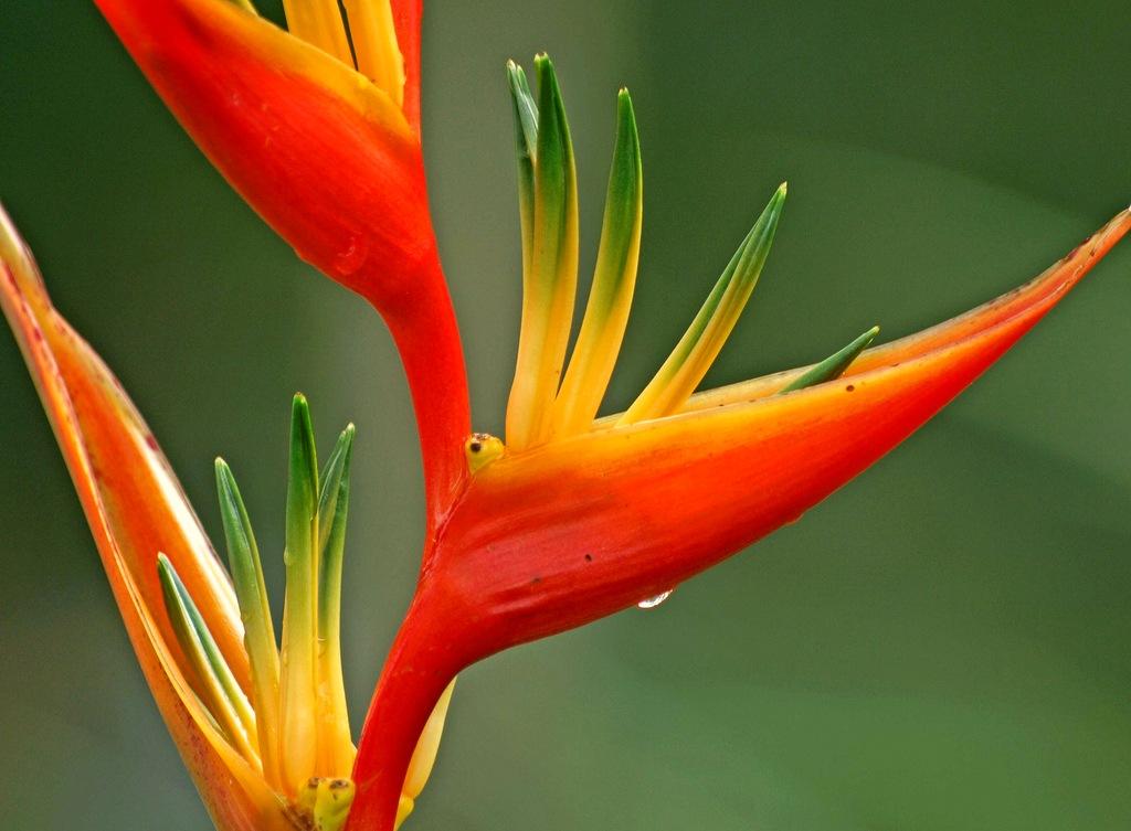 Геликония heliconia – тропическое