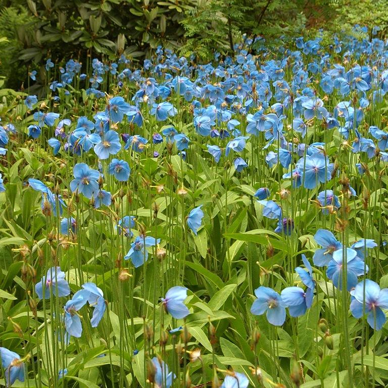 Как сажают цветы львиный зев 687