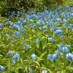 Меконопсис буквицелистный - цветущее поле