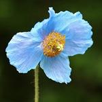 Меконопсис буквицелистный - голубой