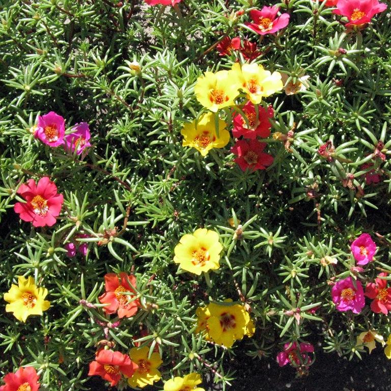 Цветы портулак: выращивание из семян в 2018 году, когда