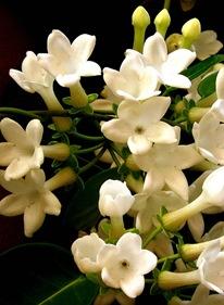 Орхидея стефанотис