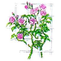 Плетистые розы цепляются за опору