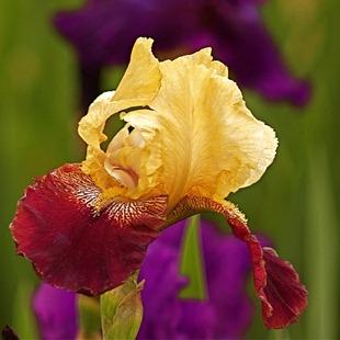 Двухцветный ирис