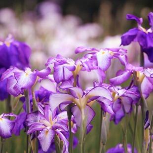Фиолетовые с белым ирисы
