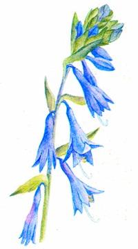 Цветок хосты вздутой