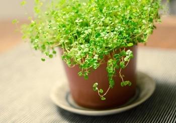 Комнатное почвопокровное растение - солейролия